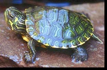 Tartarughe d acqua consigli per una corretta alimentazione for Acqua tartarughe